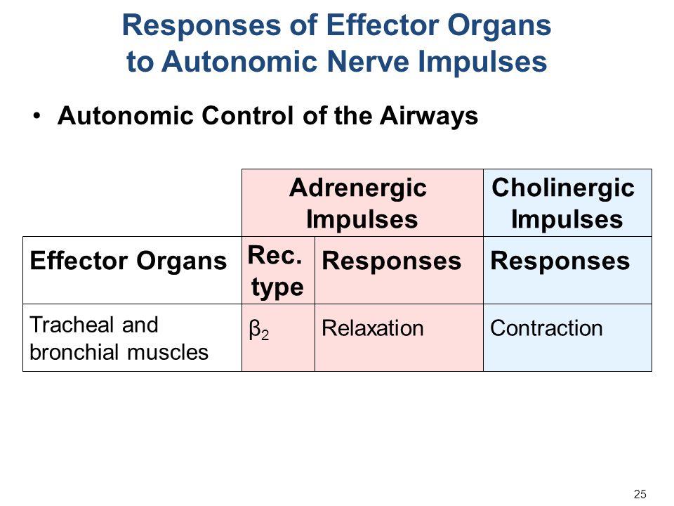 25 Responses of Effector Organs to Autonomic Nerve Impulses Autonomic Control of the Airways Adrenergic Impulses Cholinergic Impulses Responses Effect