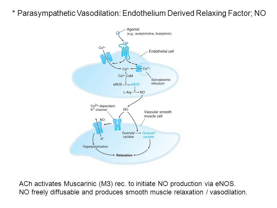 * Parasympathetic Vasodilation: Endothelium Derived Relaxing Factor; NO ACh activates Muscarinic (M3) rec.