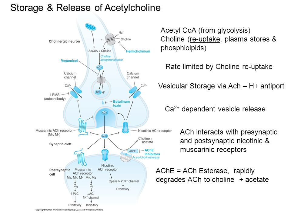 Storage & Release of Acetylcholine Acetyl CoA (from glycolysis) Choline (re-uptake, plasma stores & phosphloipids) Rate limited by Choline re-uptake V