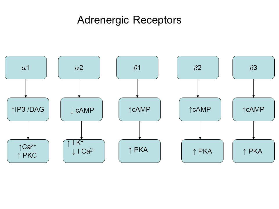 11 22 11 22 33 ↑ cAMP ↑ IP3 /DAG ↓ cAMP ↑ I K + ↓ I Ca 2+ ↑ PKA ↑ Ca 2+ ↑ PKC ↑ PKA Adrenergic Receptors