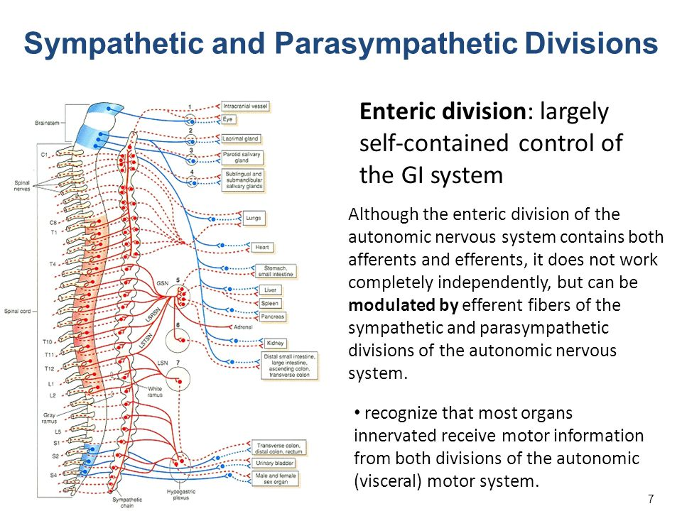 7 Sympathetic and Parasympathetic Divisions Enteric division: largely self-contained control of the GI system recognize that most organs innervated re