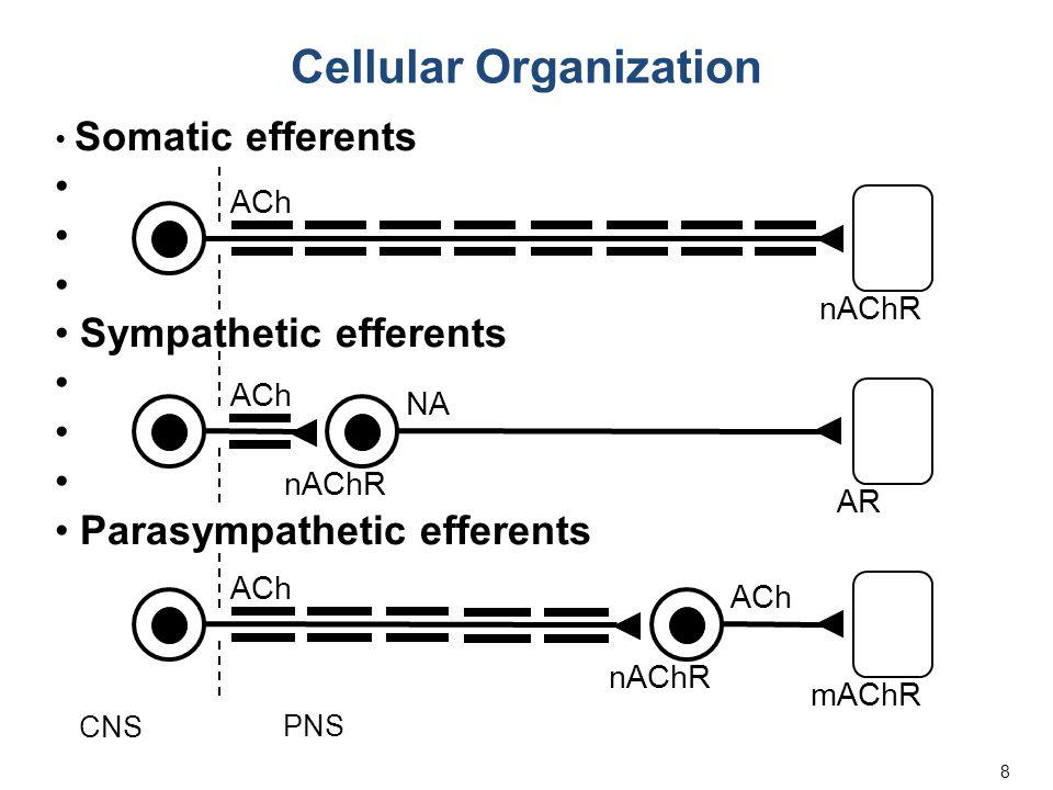 8 Somatic efferents Sympathetic efferents Parasympathetic efferents ACh NA nAChR mAChR nAChR AR CNS PNS Cellular Organization