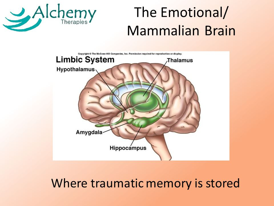 The Emotional/ Mammalian Brain Where traumatic memory is stored