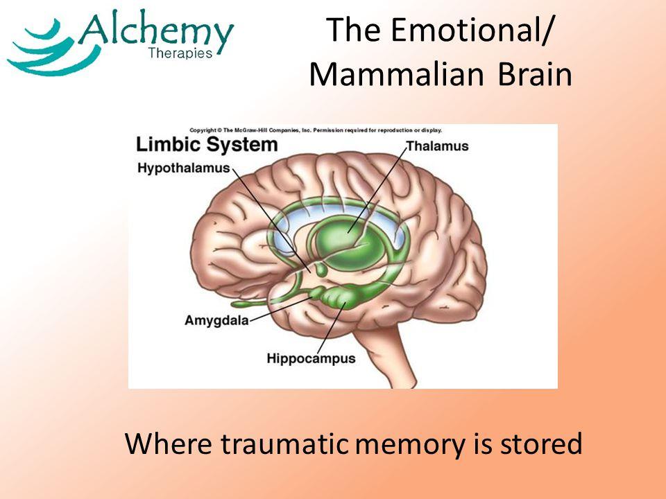 The Emotional/ Mammalian Brain Where traumatic memory is stored