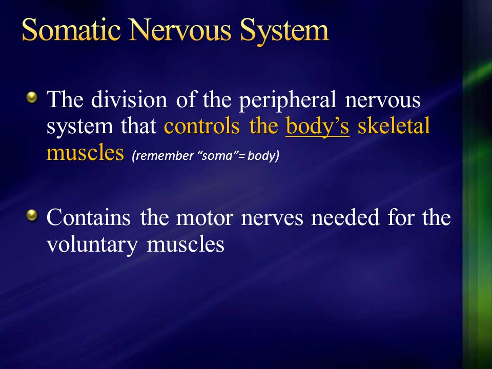 """controls the body's skeletal muscles The division of the peripheral nervous system that controls the body's skeletal muscles (remember """"soma""""= body) C"""