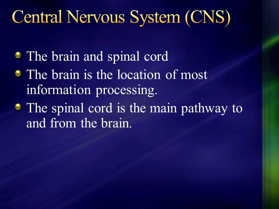 The Cerebral Cortex is split into two halves, or Hemispheres: Right Hemisphere Left Hemisphere