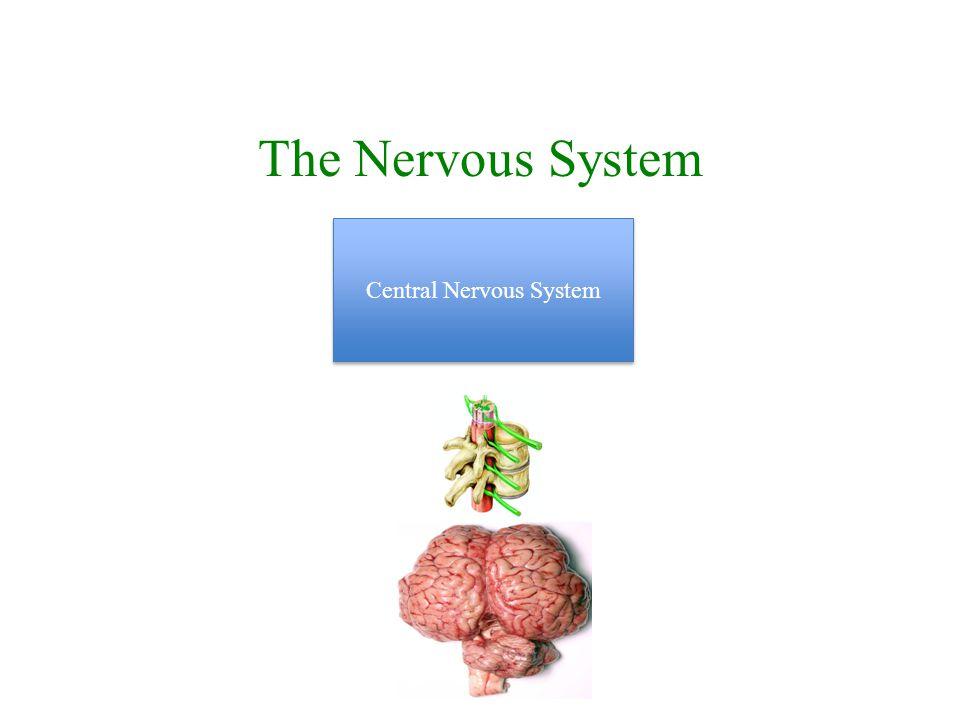 The Nervous System Central Nervous System