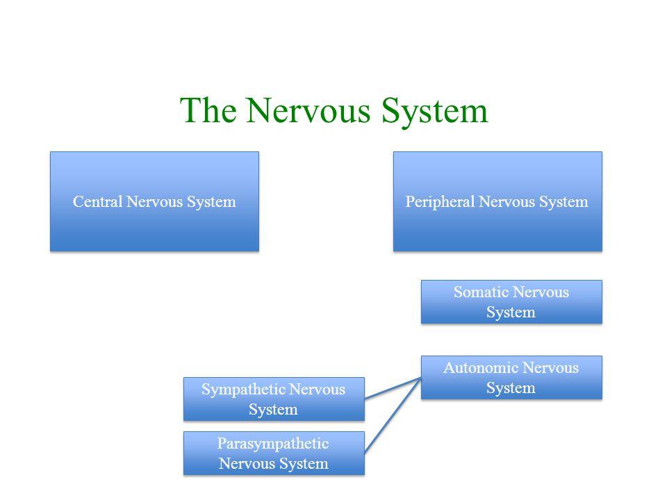 The Nervous System Central Nervous System Peripheral Nervous System Somatic Nervous System Autonomic Nervous System Sympathetic Nervous System Parasympathetic Nervous System