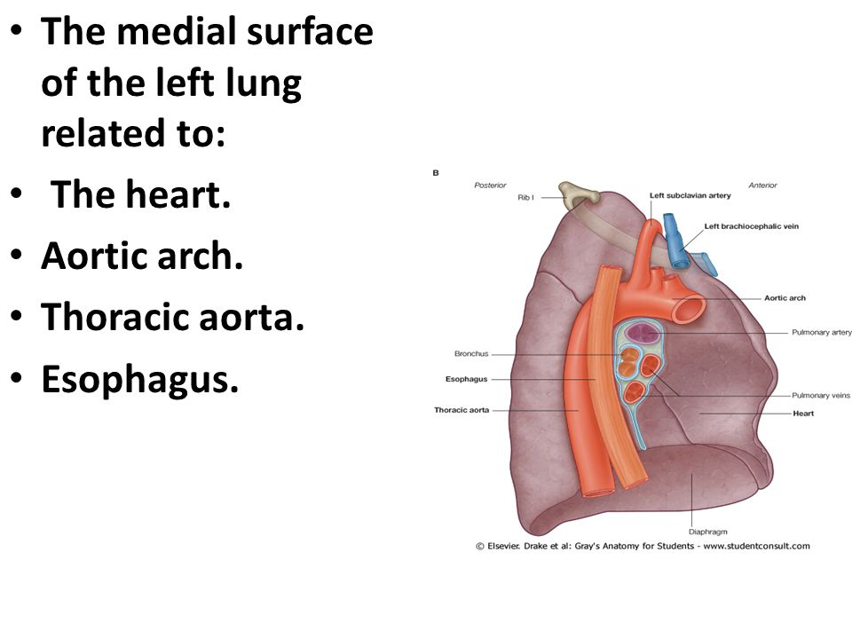 The medial surface of the left lung related to: The heart. Aortic arch. Thoracic aorta. Esophagus.