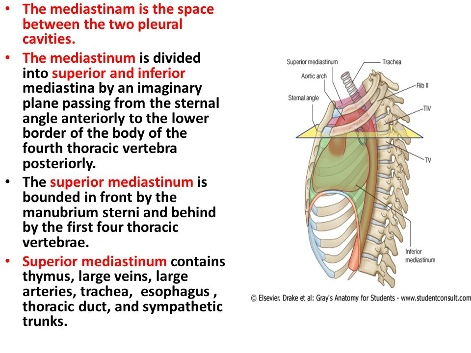 The mediastinam is the space between the two pleural cavities.