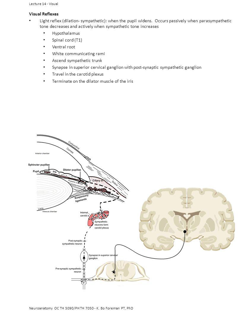 Neuroanatomy OC TH 5090/PH TH 7050 - K. Bo Foreman PT, PhD Visual Reflexes Light reflex (dilation- sympathetic): when the pupil widens. Occurs passive