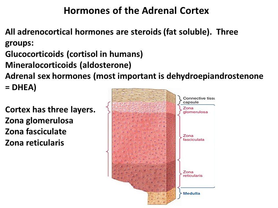 Hormones of the Adrenal Cortex All adrenocortical hormones are steroids (fat soluble).