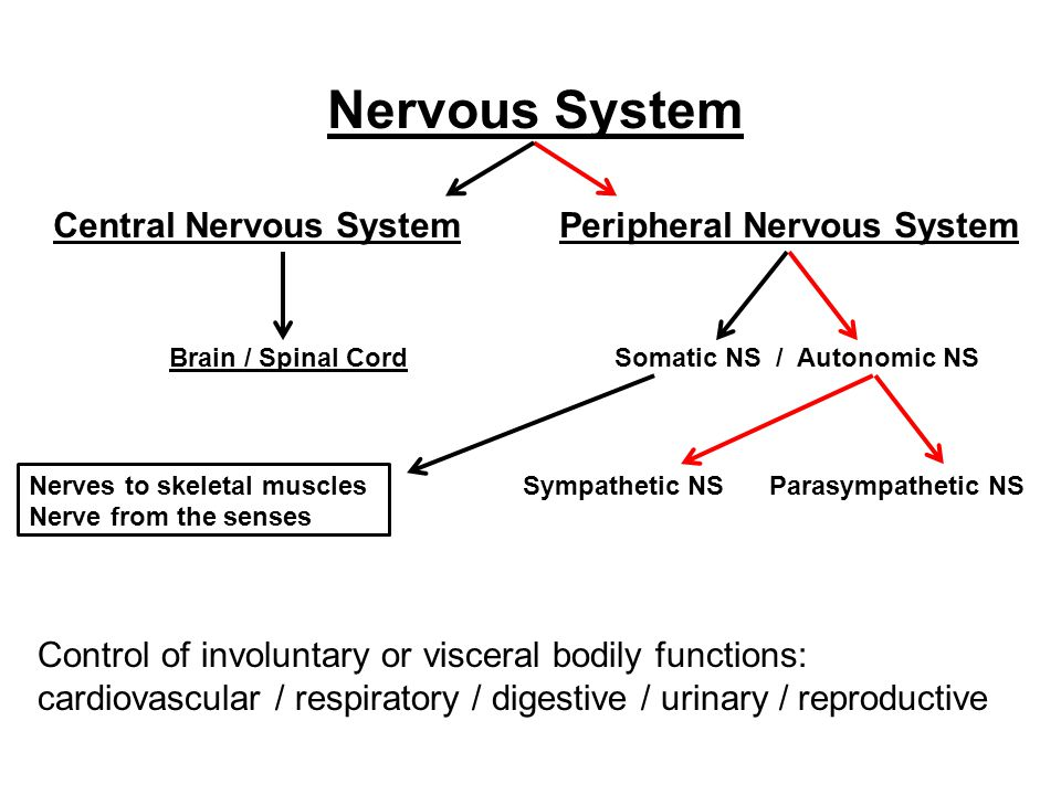 Nervous System Central Nervous System Peripheral Nervous System Brain / Spinal Cord Somatic NS / Autonomic NS Nerves to skeletal muscles Sympathetic NS Parasympathetic NS Nerve from the senses Control of involuntary or visceral bodily functions: cardiovascular / respiratory / digestive / urinary / reproductive