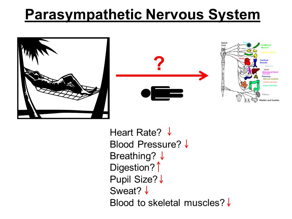 Parasympathetic Nervous System . Heart Rate. Blood Pressure.