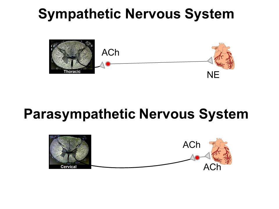 Sympathetic Nervous System Parasympathetic Nervous System ACh NE ACh