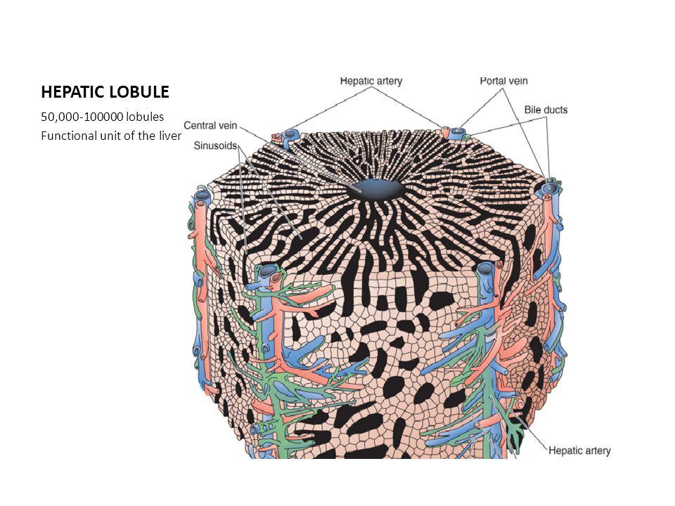 HEPATIC LOBULE 50,000-100000 lobules Functional unit of the liver