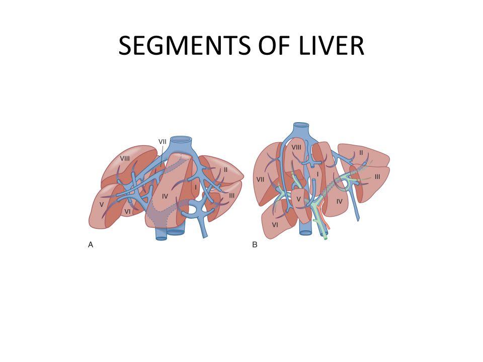 SEGMENTS OF LIVER