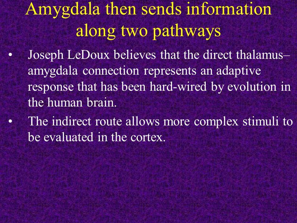 Amygdala then sends information along two pathways Joseph LeDoux believes that the direct thalamus– amygdala connection represents an adaptive respons