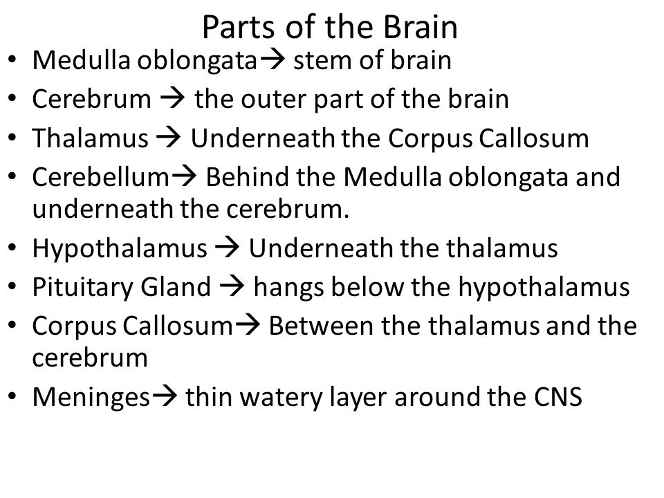 Parts of the Brain Medulla oblongata  stem of brain Cerebrum  the outer part of the brain Thalamus  Underneath the Corpus Callosum Cerebellum  Behind the Medulla oblongata and underneath the cerebrum.