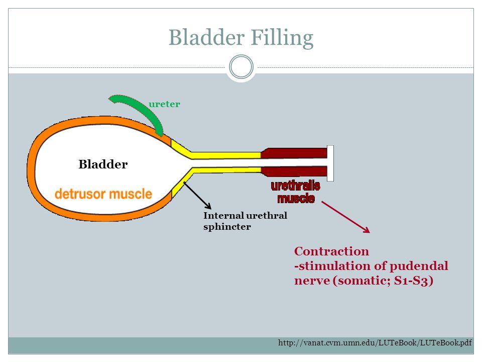 Bladder Filling Internal urethral sphincter ureter Contraction -stimulation of pudendal nerve (somatic; S1-S3) http://vanat.cvm.umn.edu/LUTeBook/LUTeB