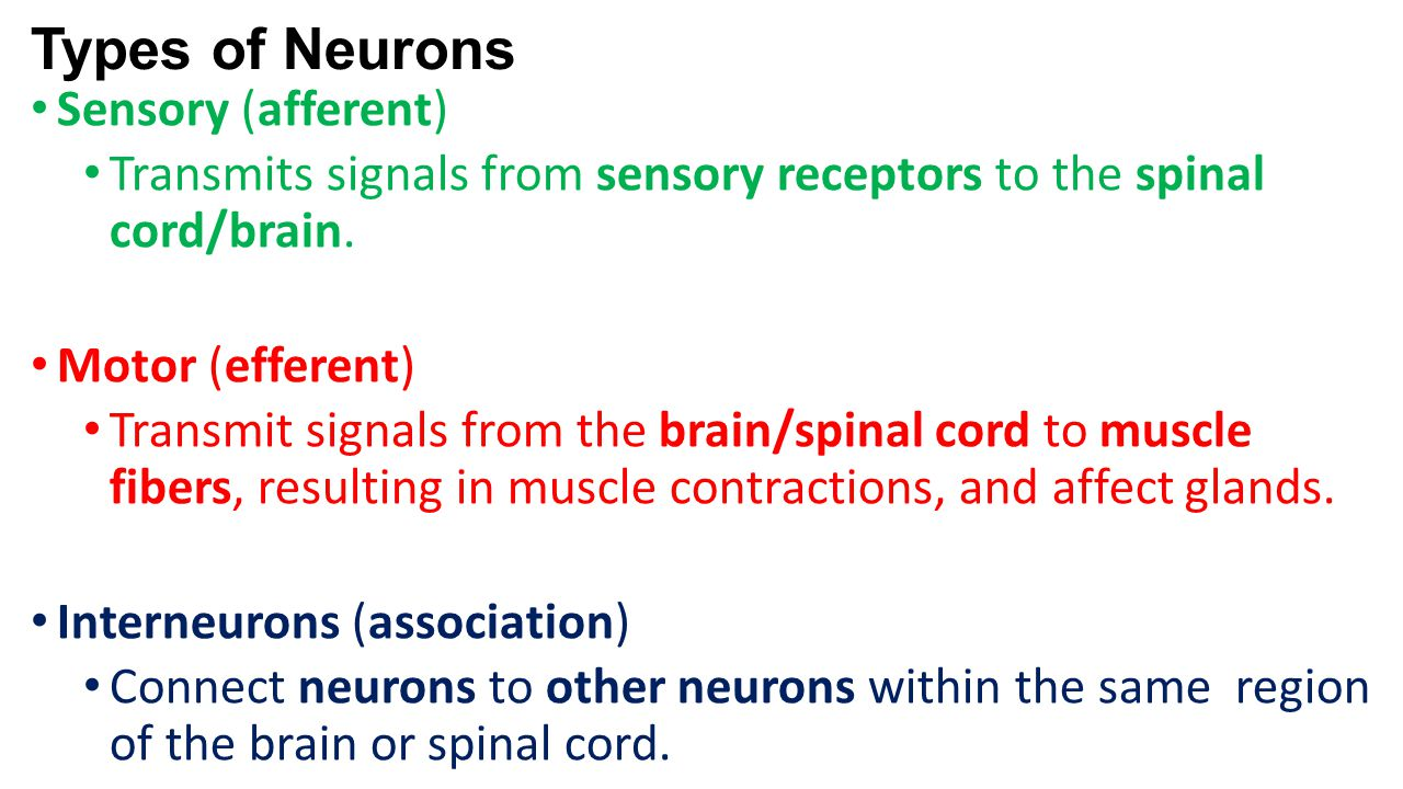 Types of Neurons Sensory (afferent) Transmits signals from sensory receptors to the spinal cord/brain. Motor (efferent) Transmit signals from the brai