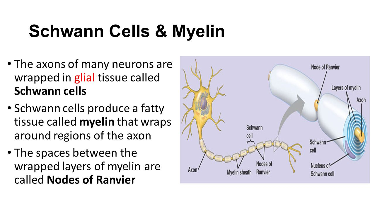 Schwann Cells & Myelin The axons of many neurons are wrapped in glial tissue called Schwann cells Schwann cells produce a fatty tissue called myelin t