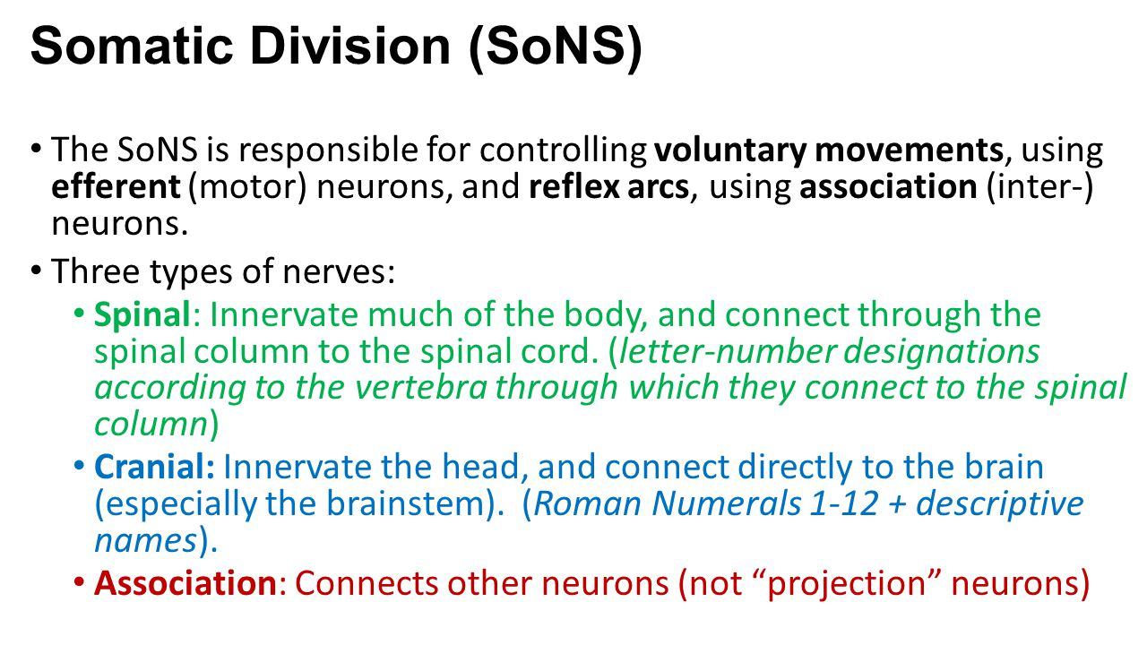 Somatic Division (SoNS) The SoNS is responsible for controlling voluntary movements, using efferent (motor) neurons, and reflex arcs, using associatio