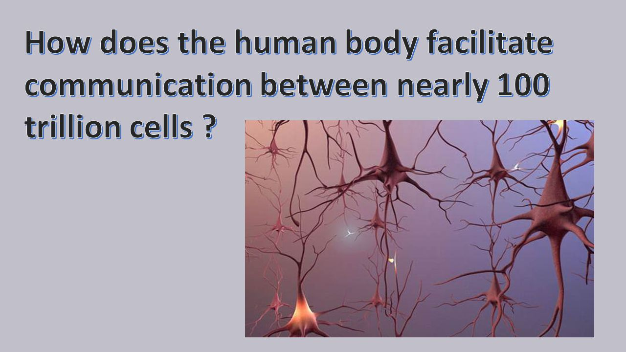 The Neuron Doctrine Santiago Ramon y Cajal (1887): Neurons are the functional unit of the nervous system Neurons are discrete, metabolic units Neurons are electrochemically excitable cells
