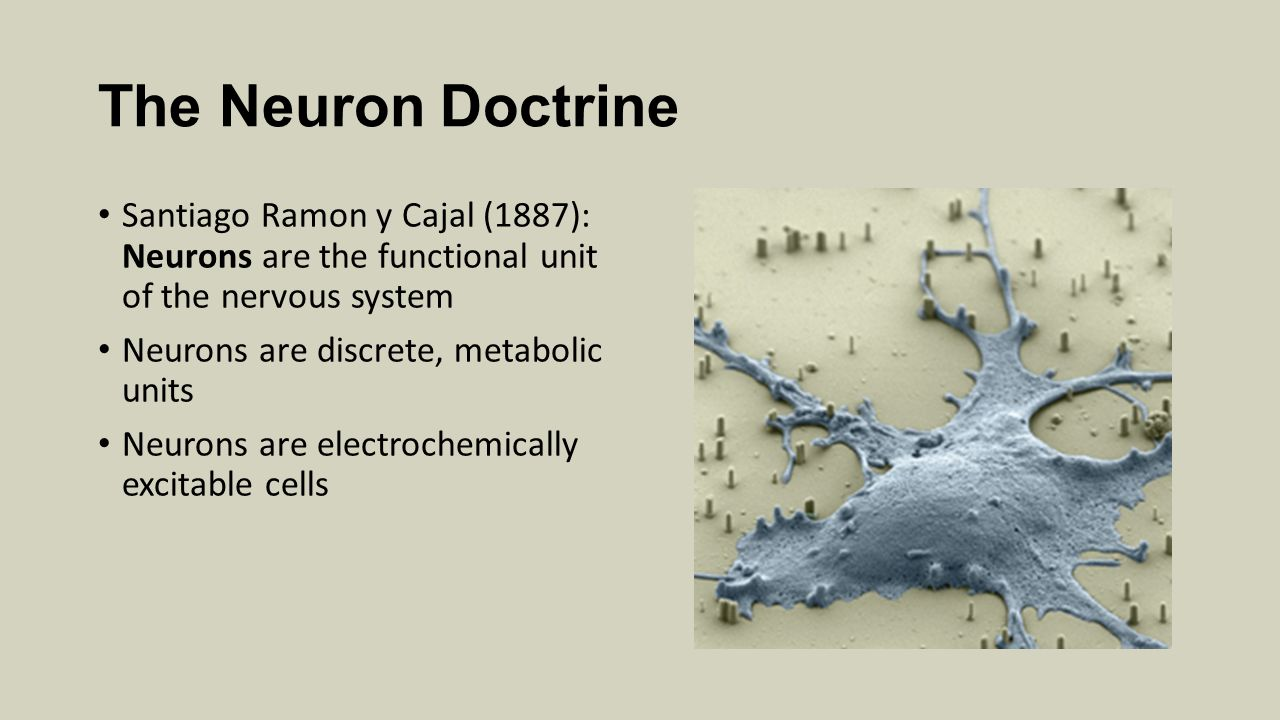 The Neuron Doctrine Santiago Ramon y Cajal (1887): Neurons are the functional unit of the nervous system Neurons are discrete, metabolic units Neurons