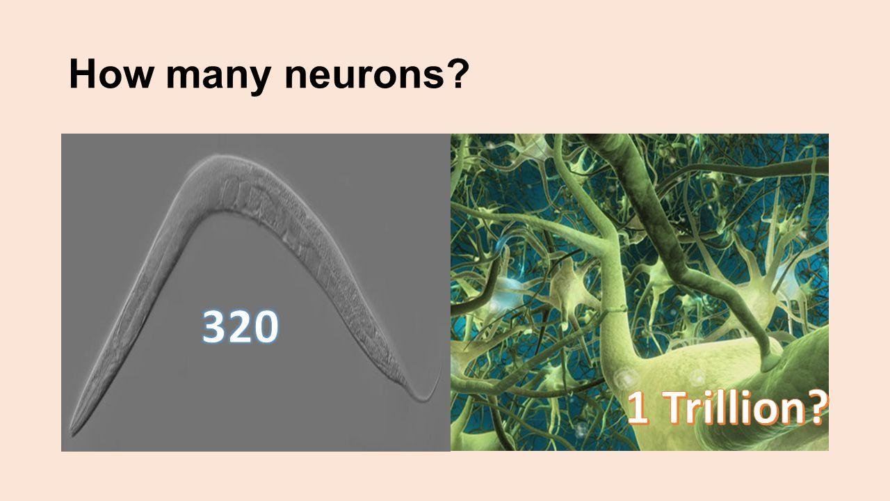 Anatomy of the Neuron