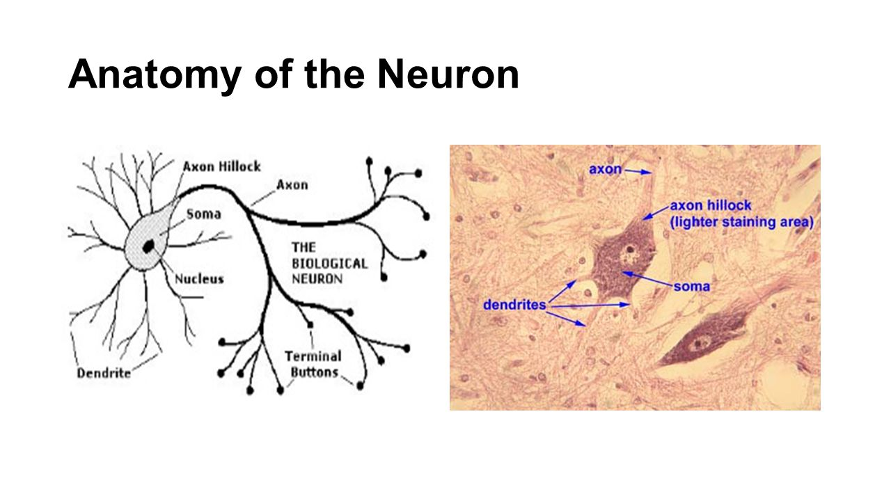 Major Neurotransmitters Acetylcholine (ACH) Stimulates motor neurons Inhibits cardiac contraction Norepinephrine Increases cardiac contraction rate & strength