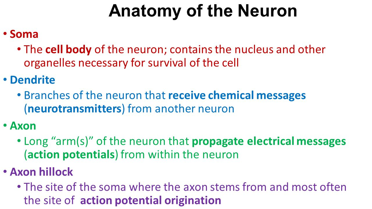 Soma The cell body of the neuron; contains the nucleus and other organelles necessary for survival of the cell Dendrite Branches of the neuron that re