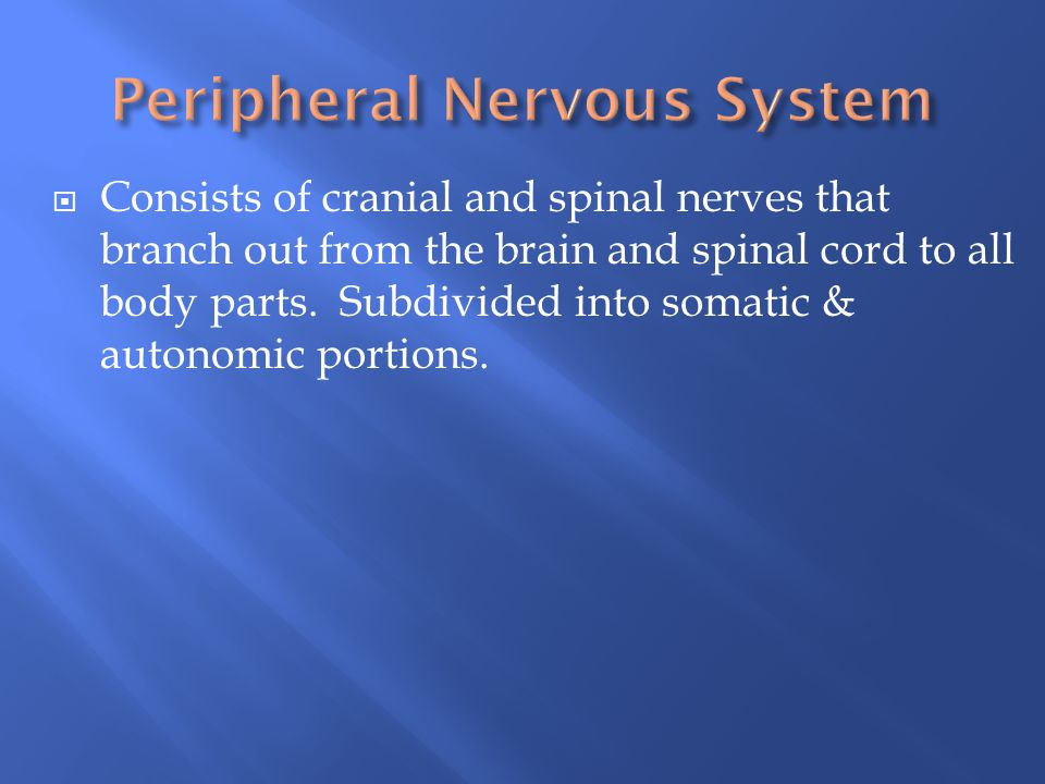  Consists of cranial and spinal nerves that branch out from the brain and spinal cord to all body parts. Subdivided into somatic & autonomic portions