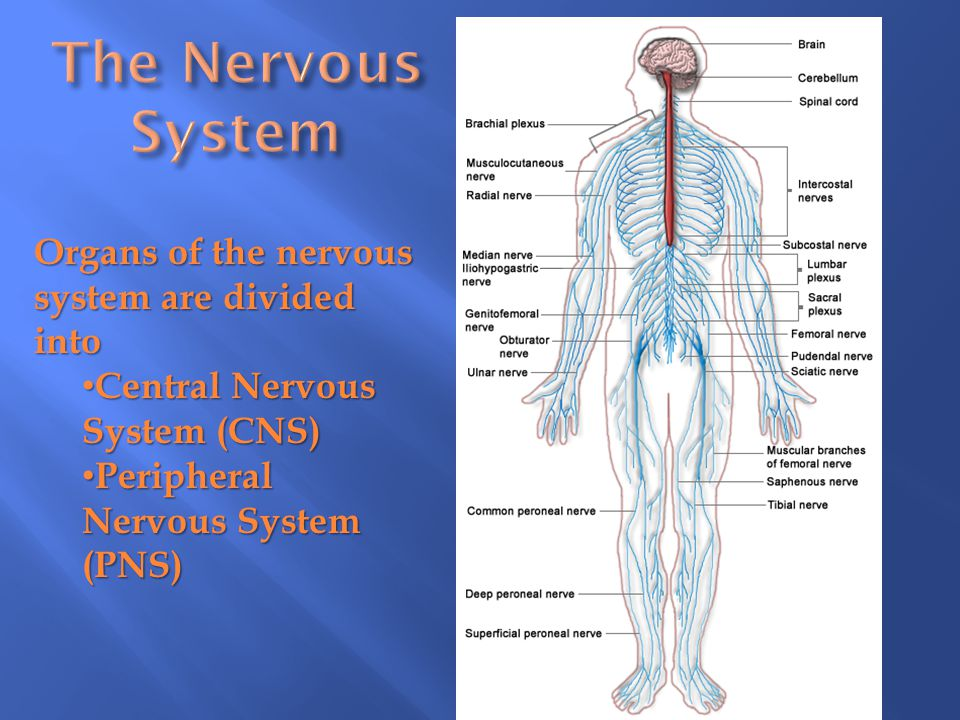 Organs of the nervous system are divided into Central Nervous System (CNS) Central Nervous System (CNS) Peripheral Nervous System (PNS) Peripheral Ner