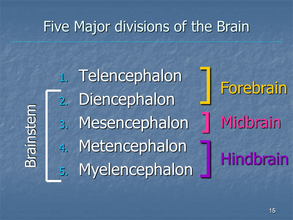 15 Five Major divisions of the Brain 1.Telencephalon 2.