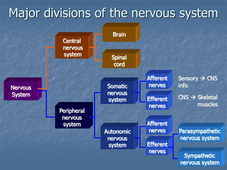 NervousSystem Central nervous nervous system system Peripheralnervoussystem Brain Spinalcord Somaticnervoussystem Autonomicnervoussystem Afferentnerve