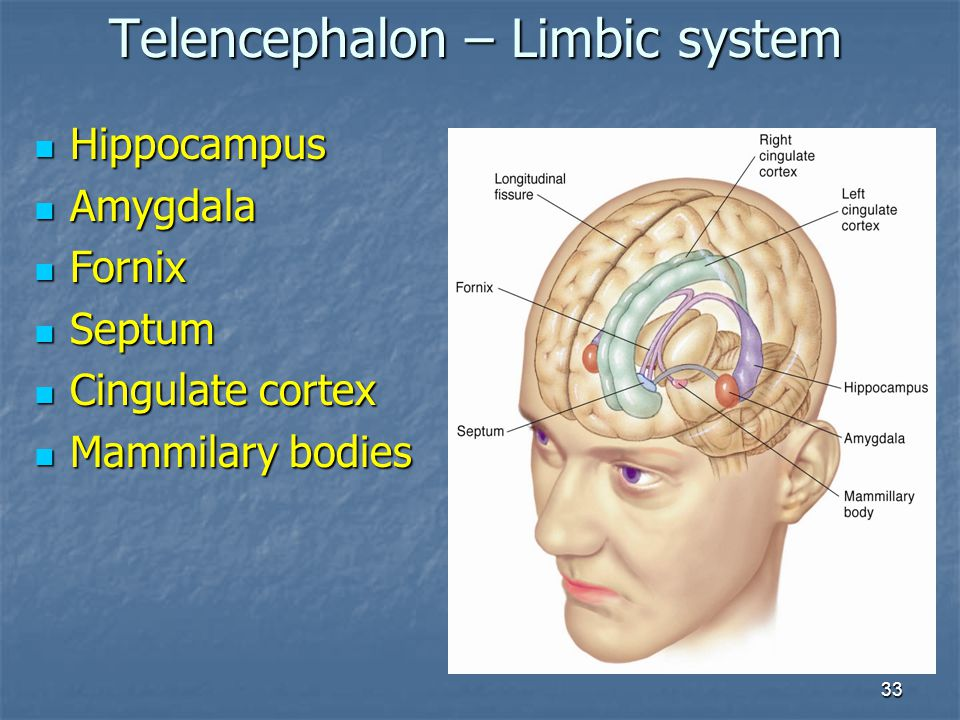 33 Hippocampus Hippocampus Amygdala Amygdala Fornix Fornix Septum Septum Cingulate cortex Cingulate cortex Mammilary bodies Mammilary bodies Telenceph