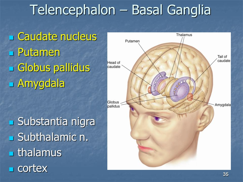 35 Caudate nucleus Caudate nucleus Putamen Putamen Globus pallidus Globus pallidus Amygdala Amygdala Telencephalon – Basal Ganglia Substantia nigra Su
