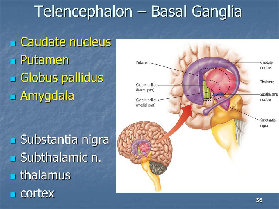 36 Caudate nucleus Caudate nucleus Putamen Putamen Globus pallidus Globus pallidus Amygdala Amygdala Telencephalon – Basal Ganglia Substantia nigra Su