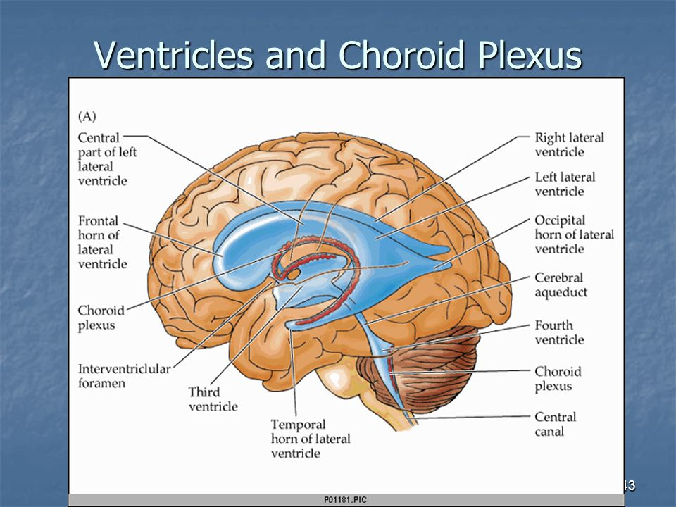 43 Ventricles and Choroid Plexus
