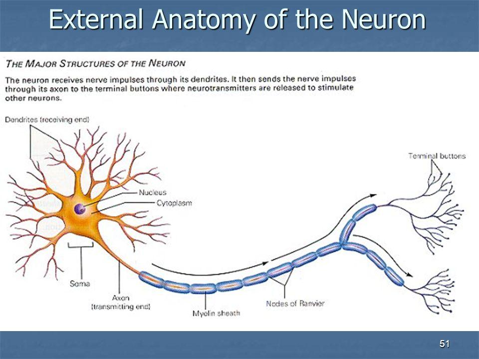 51 External Anatomy of the Neuron