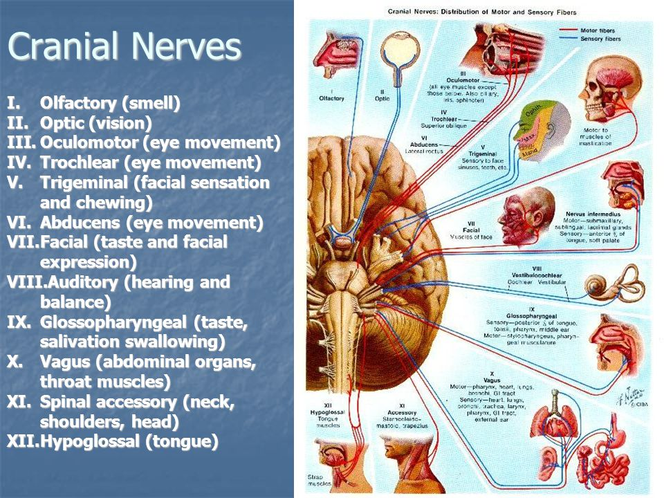 Cranial Nerves I.Olfactory (smell) II.Optic (vision) III.Oculomotor (eye movement) IV.Trochlear (eye movement) V.Trigeminal (facial sensation and chewing) VI.Abducens (eye movement) VII.Facial (taste and facial expression) VIII.Auditory (hearing and balance) IX.Glossopharyngeal (taste, salivation swallowing) X.Vagus (abdominal organs, throat muscles) XI.Spinal accessory (neck, shoulders, head) XII.Hypoglossal (tongue)