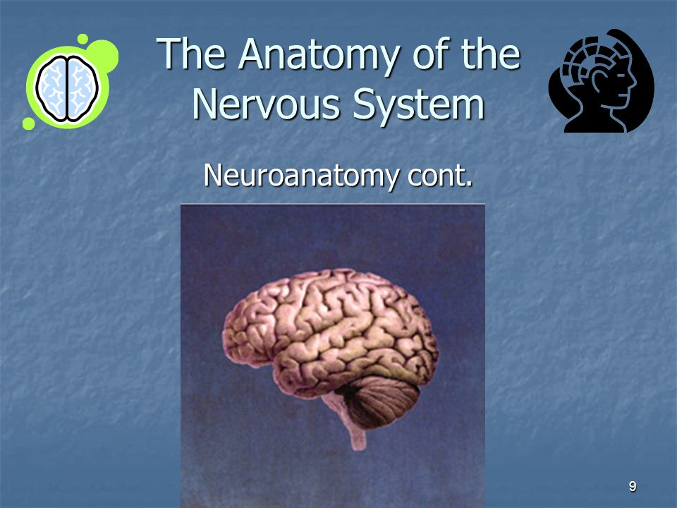 9 The Anatomy of the Nervous System Neuroanatomy cont.