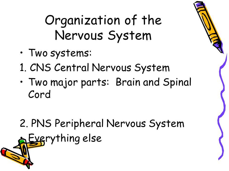 Peripheral Nervous System Two major parts: Afferent Nervous System Sensory neurons take info from PNS to CNS Efferent Nervous System Motor neurons take info from CNS to PNS
