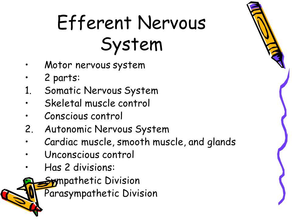 Autonomic Nervous System Sympathetic vs.