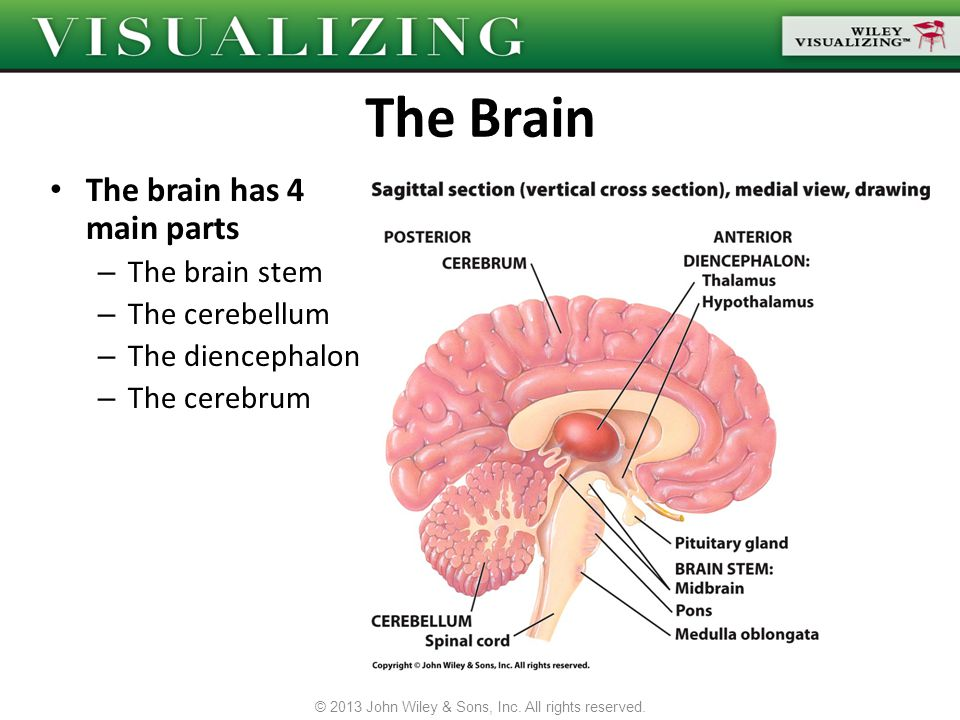 The brain has 4 main parts – The brain stem – The cerebellum – The diencephalon – The cerebrum © 2013 John Wiley & Sons, Inc. All rights reserved.
