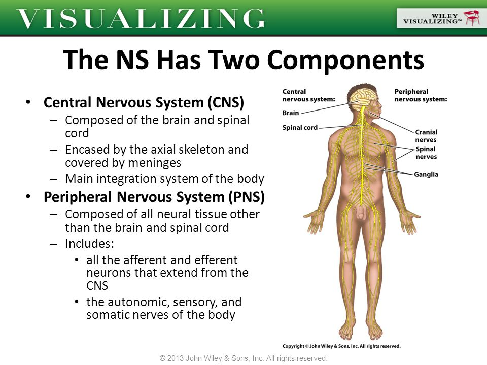 Sensory information enters the CNS, which analyzes it and then sends a motor response through the PNS to muscular or glandular tissue Information reaches the CNS from the afferent division of the PNS – The PNS picks up this information with one of three types of receptors Special senses (sight, hearing, taste, smell) General sensory receptors (external temp., light, touch, pain) Visceral receptors (proprioception, organ functions) Motor responses are sent through the efferent division of the PNS © 2013 John Wiley & Sons, Inc.