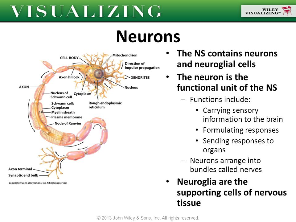 The NS contains neurons and neuroglial cells The neuron is the functional unit of the NS – Functions include: Carrying sensory information to the brai
