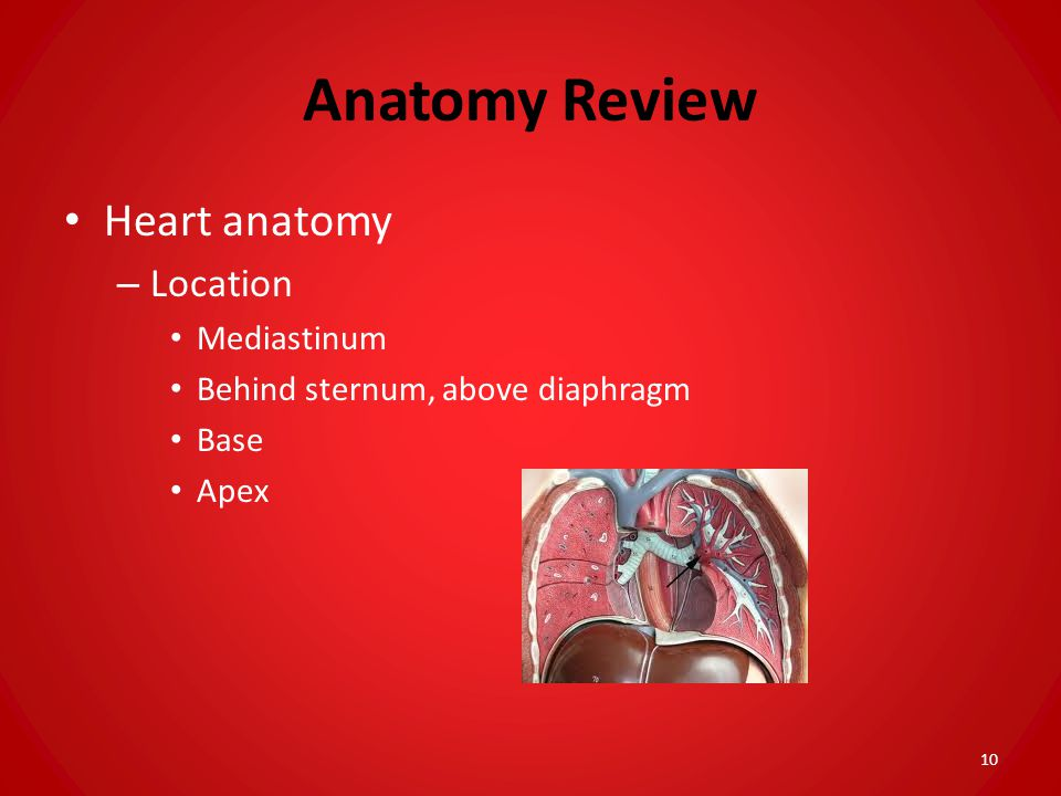 Anatomy Review Heart anatomy – Location Mediastinum Behind sternum, above diaphragm Base Apex 10