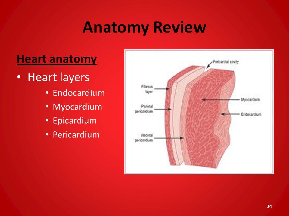 Anatomy Review Heart anatomy Heart layers Endocardium Myocardium Epicardium Pericardium 14